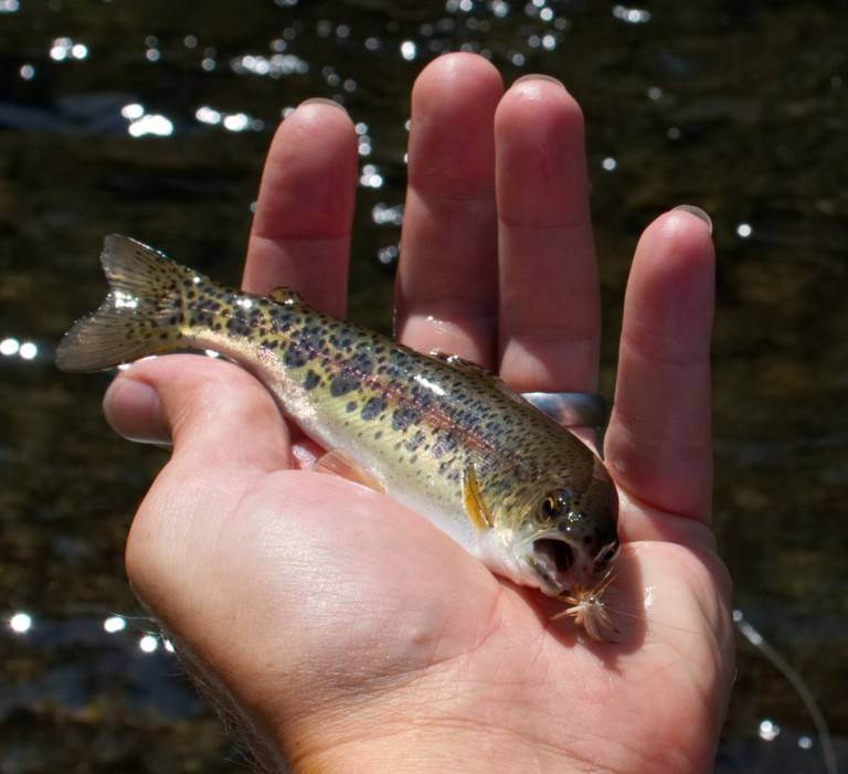 rainbow trout 1