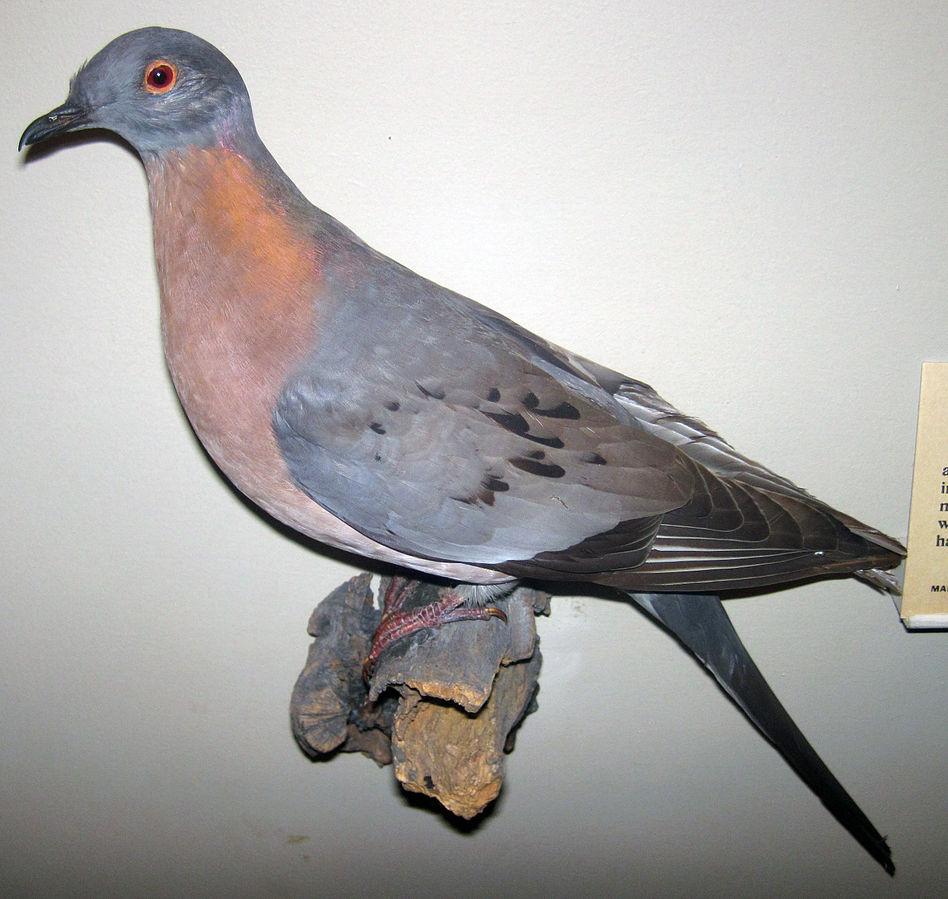 Ectopistes_migratorius_(passenger_pigeon) by James St John