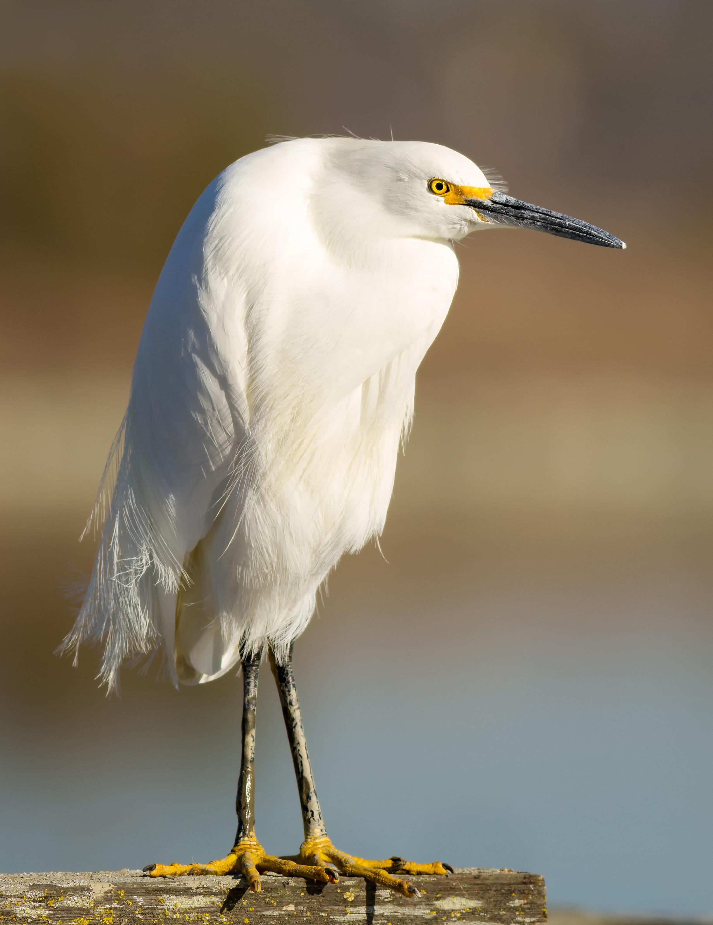 snowy egret by Frank Schulenburg