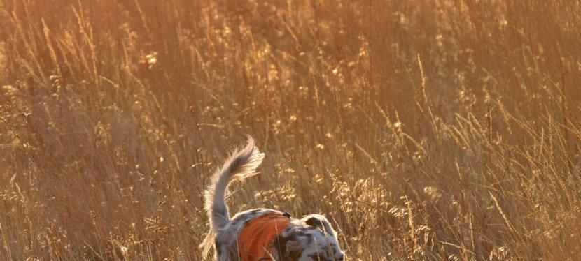 Grass Awns and GunDogs