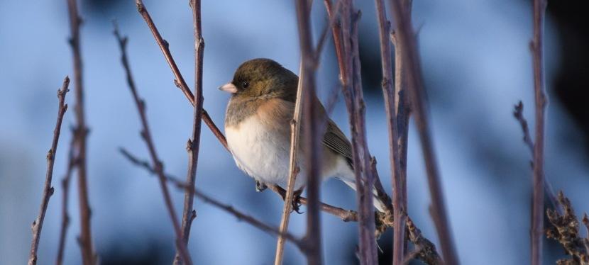 A Christmas SongbirdTradition