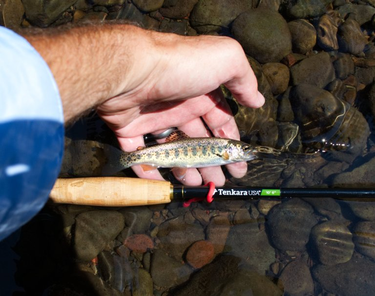 Trumbo - Wild Spring Trout (4)