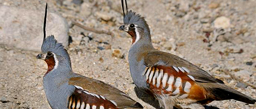 Status and Conservation of Oregon's Mountain Quail