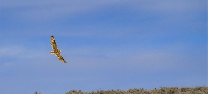 Short-eared Owls of the Plains