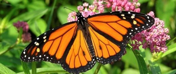 Upland Pursuits: Conservation of the Western MonarchButterfly